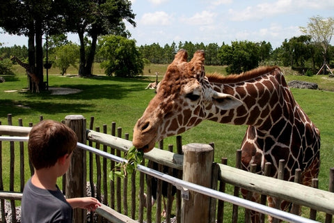 The zoo is located about 15 miles from Miami. It covers an area of 300 hectares. In order to see all the animals, you will have to walk more than 3 miles.