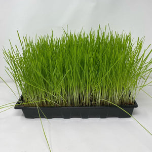 Fast Growing Grass Seeds (Red Wheatgrass) - David's Jungle