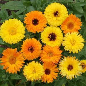 Calendula Seed Mix 3g - David's Jungle