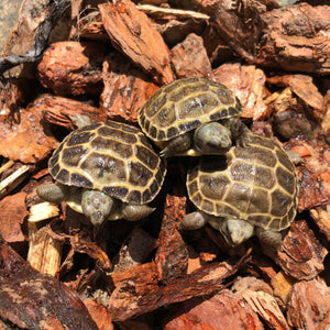 Baby Russian Tortoise (Preorder) - David's Jungle