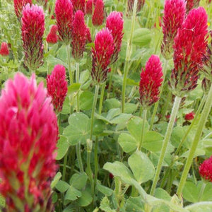 Crimson Clover Seeds - David's Jungle