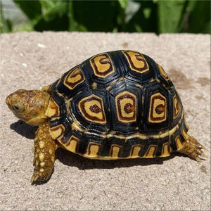 Well Started 6 Month Old Leopard Tortoise - David's Jungle