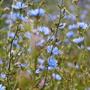 Chicory Wildflower Seeds 3g - David's Jungle