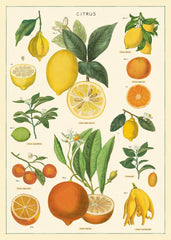 A NEW ARRIVAL Cavallini & Co. Citrus Chart Decorative Paper Sheet