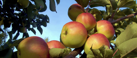 Apples and Acne Treatment
