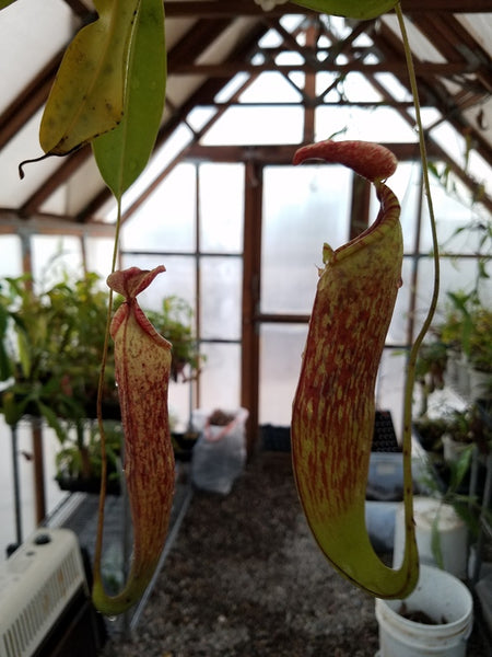 "Nepenthes ""240 spuh"""