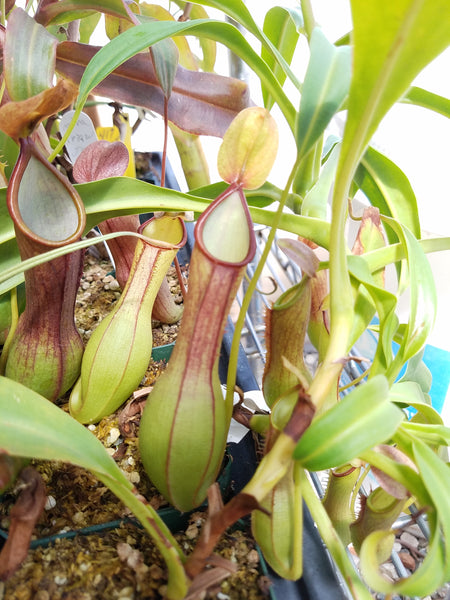 Nepenthes graciliflora