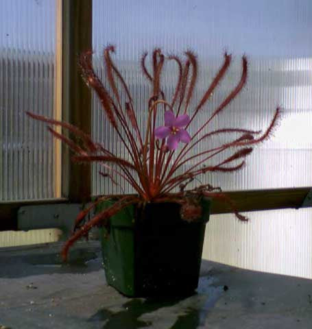 Drosera capensis All Red