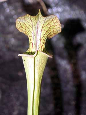 Sarracenia oreo x 'Royal Ruby'