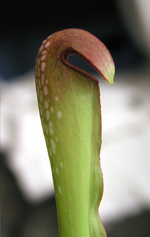 Sarracenia minor 'Okee Giant'