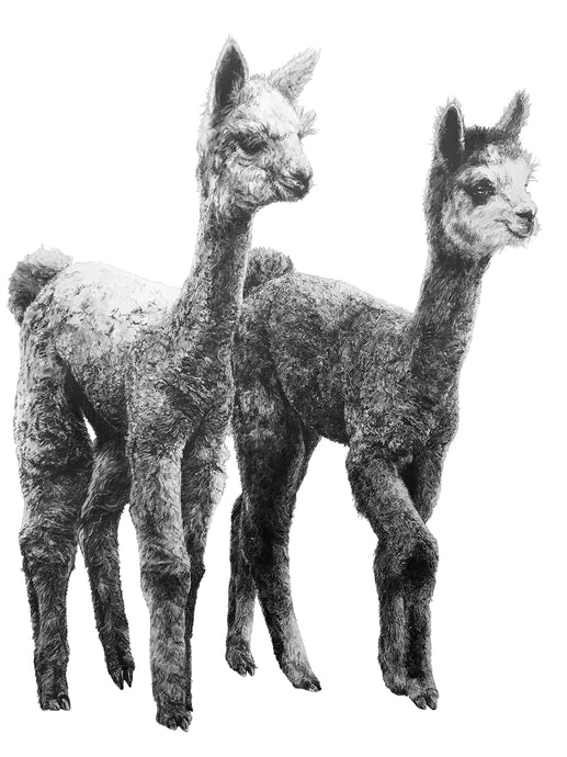black and white drawing of two alpacas