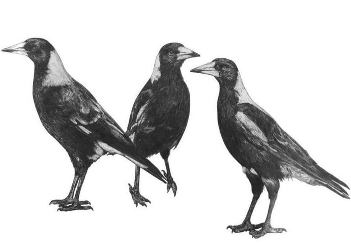 black and white drawing of three magpies