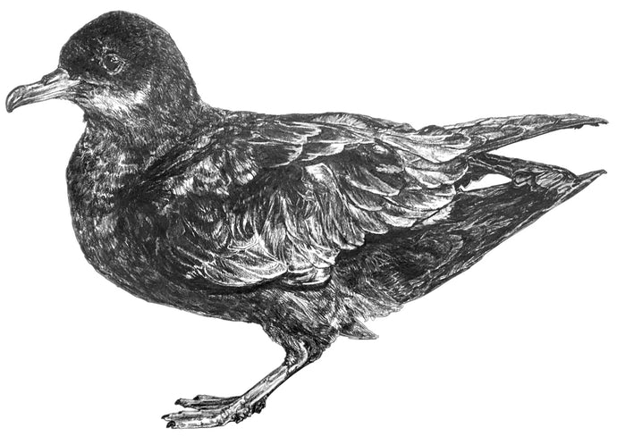 black and white drawing of a mutton bird