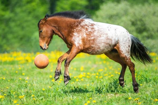 horse playing with ball