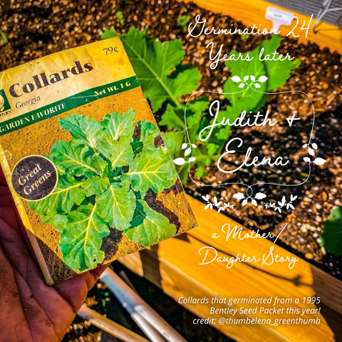 Incredible Bentley Seeds Collards germinated from 1995 in 2021