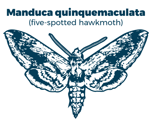 Manduca quinquemaculata (five-spotted hawkmoth)