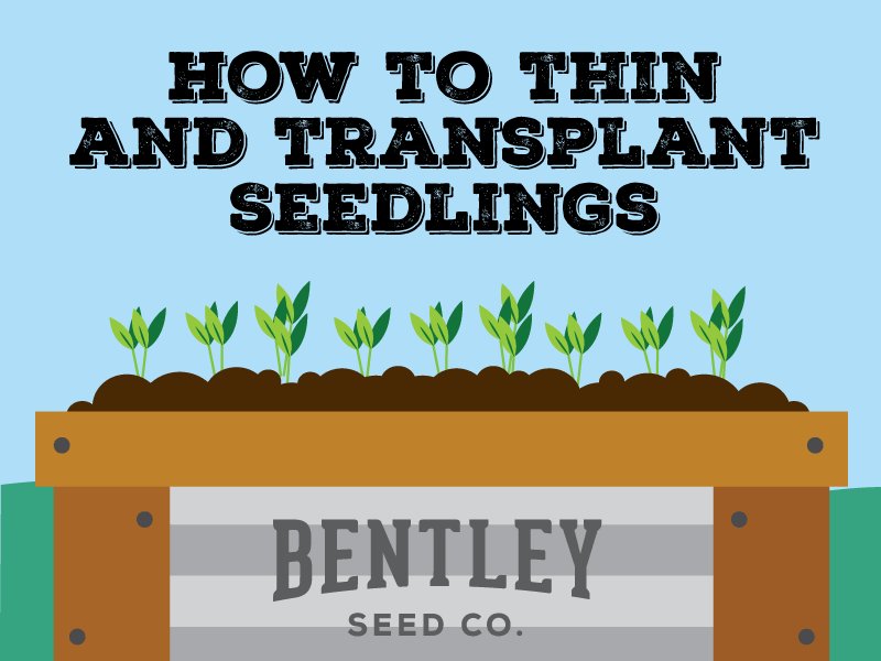 How to thin and transplant seedlings