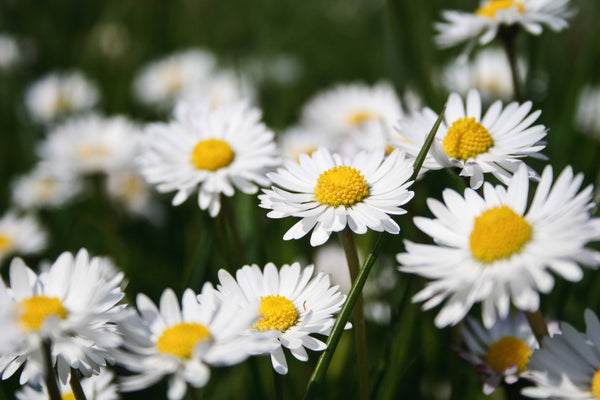 """Earth Day 2021 """"Psychedelic"""" Shasta Daisy Seed Packet in ..."""