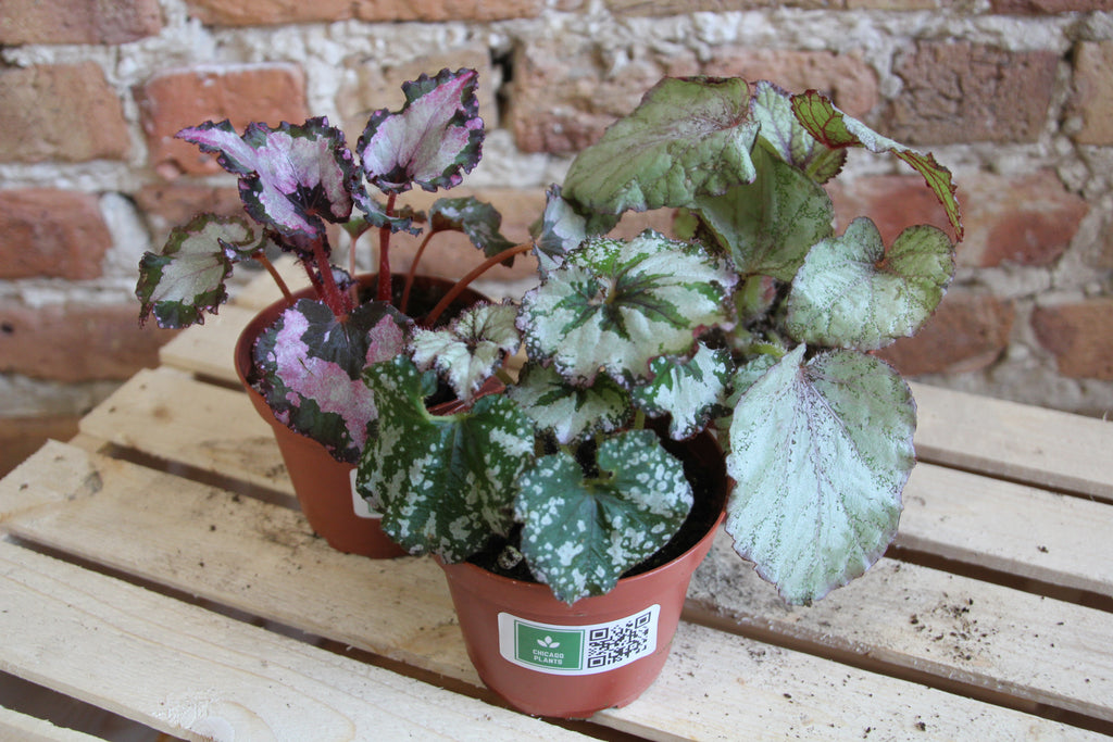 Begonia Care Guide