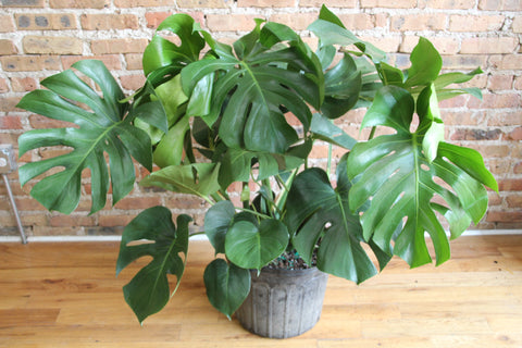 Philodendron Collection