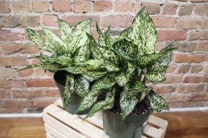 Aglaonema Collection
