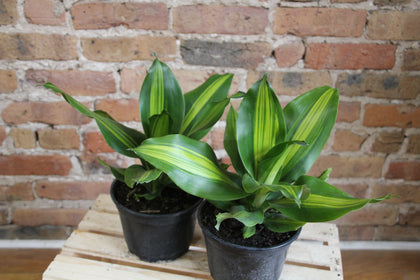 Dracaena Collection