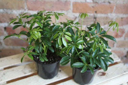 Schefflera Collection