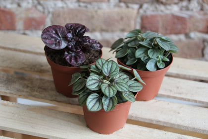 Peperomia Collection