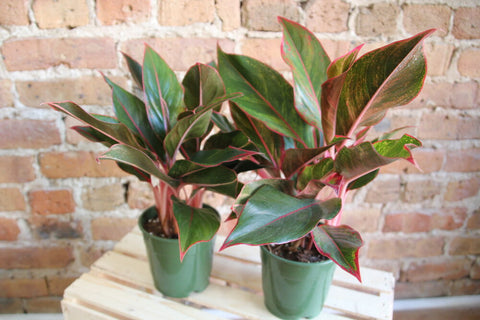 Aglaonema Siam Red
