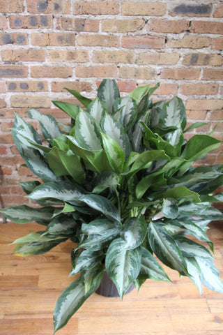 Aglaonema Diamond Bay