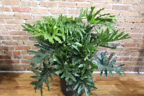 Philodendron Hope - Selloum