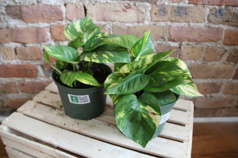 Pothos Golden