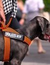 Training Your Dog to Wear a Harness