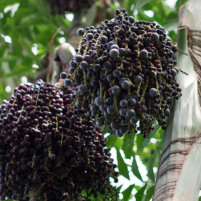 Acai Beads, what is it and where it comes from?