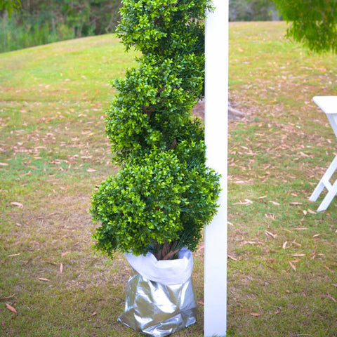 Ceremony Backdrop Boxwood Spiral Tree