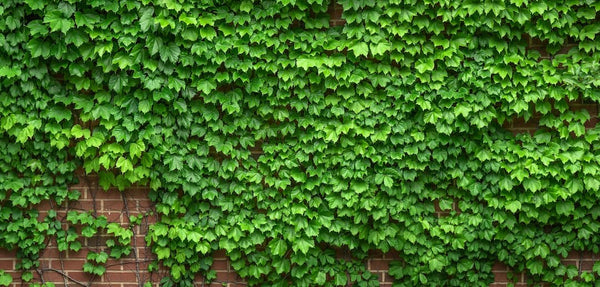 ivy on garden wall