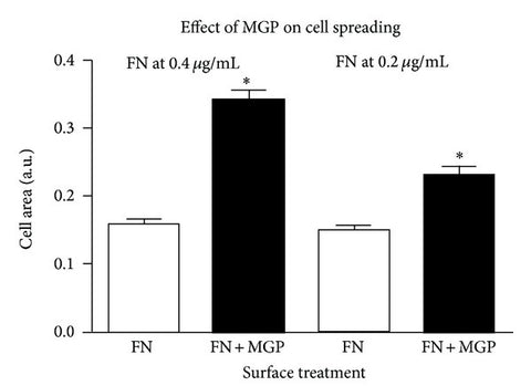 MGP augments cell spreading on fibronectin. In Panel (a) the graph shows the calculated cell area/cell for fibronectin coated surfaces compared to fibronectin plus MGP coated surfaces. FN is fibronectin alone open bars at 0.4μg/mL (left) or 0.2μg/mL (right); FN + MGP dark bars is the indicated concentration of fibronectin plus MGP at 3μg/mL. The asterisk indicates that the combination of FN + MGP was significantly different from FN at each concentration of FN (P ≤ .0001, error bars are SEM). The average cell area from a minimum of 100cells in 14 to 16 random microscopic fields is shown. Cells were allowed to attach for 2 hours in serum-free medium then fixed, stained, and imaged and the cell area quantified. Area per cell was determined by NIH Image software as described in experimental procedures.