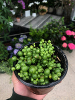 String Of Pearls-String Of Beads-Senecio Rowleyanus