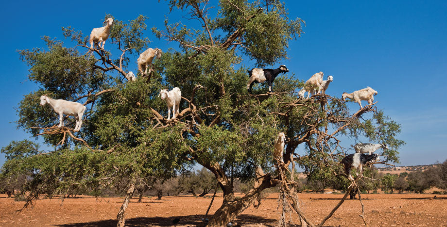 Silk-Oil-of-Morocco-Goats-in-Tree