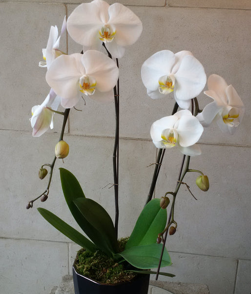 White Phalaenopsis two spikes