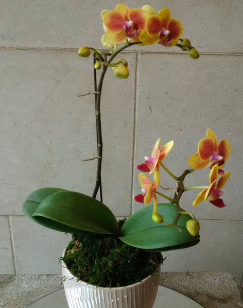 mini two tone orchid
