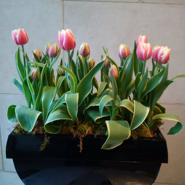 Potted Tulips in metal planter