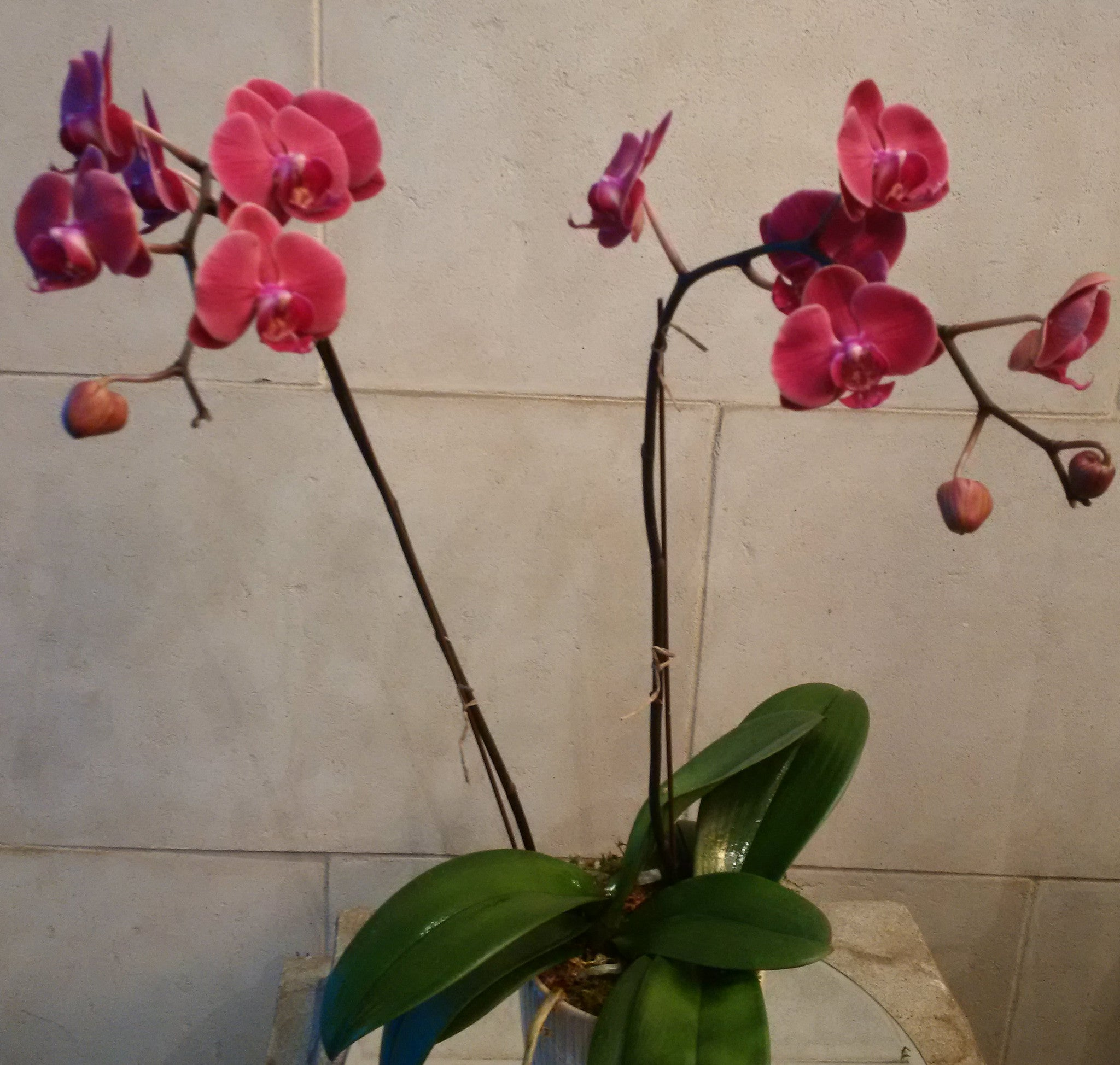 Raspberry colour Phalaenopsis