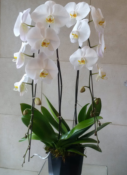 Large Orchid Duo