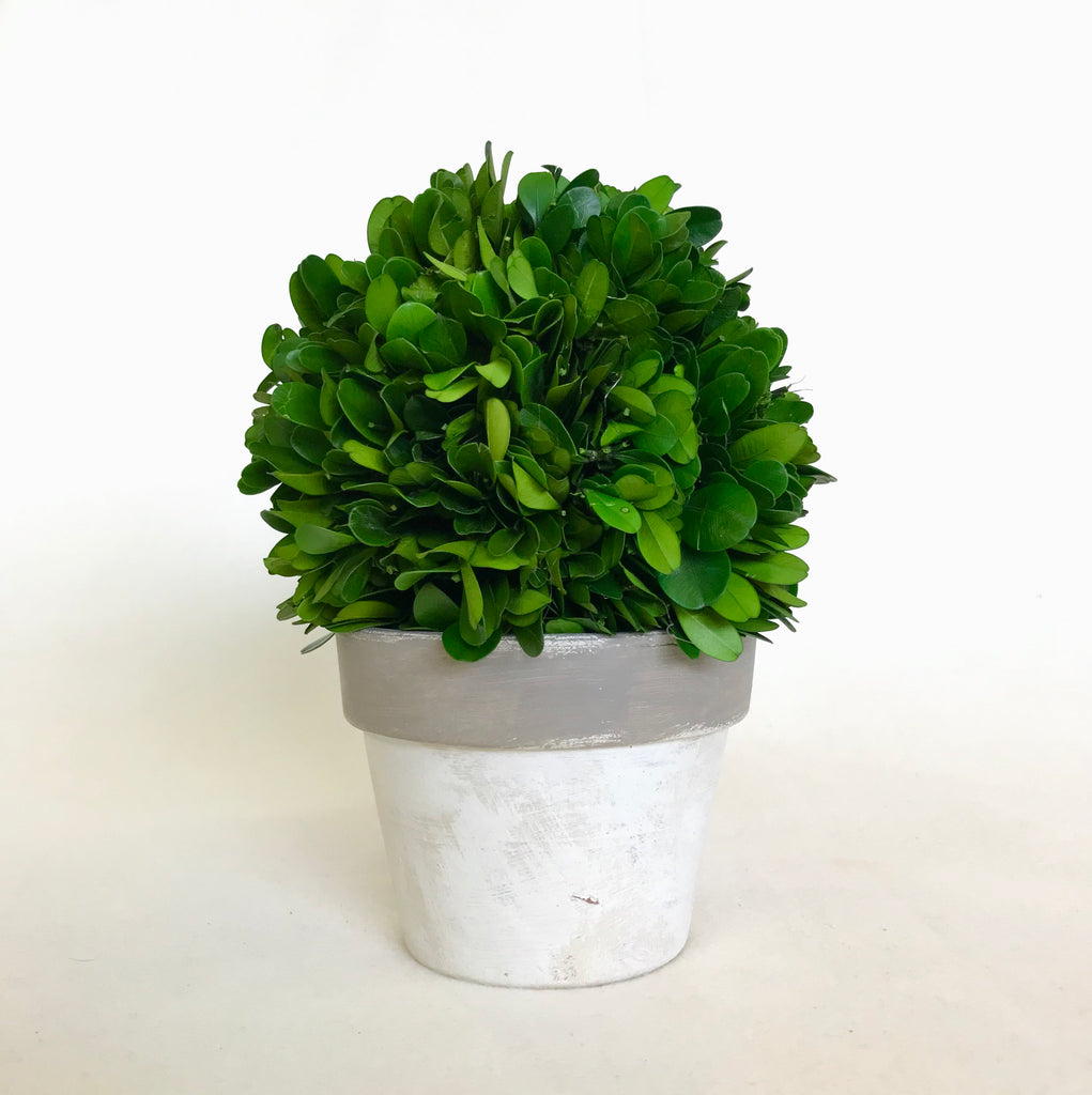 "6"" Boxwood Ball in Pot"