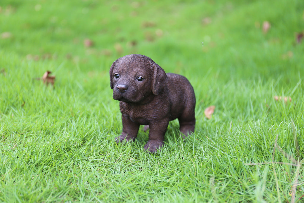 Labrador Puppy Standing - Chocolate