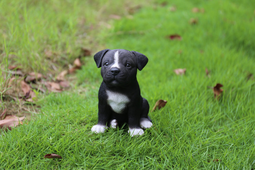 Buy Staffordshire Pitbull Puppy For Sale Online In USA