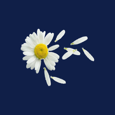 The antioxidants tie to the brain receptors and make it easier to fall asleep. For those who have trouble sleeping, chamomile could be the answer to  dreams