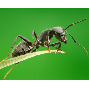 is black ant powder really made from ants