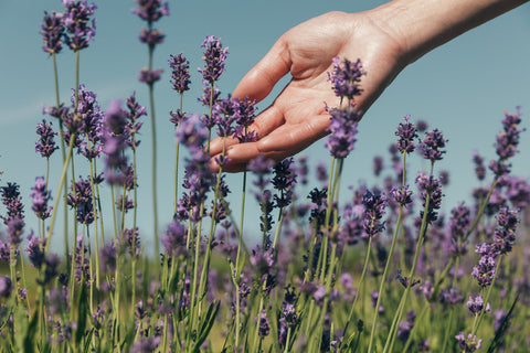 Hand sweeping into fresh lavender in field